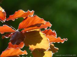 Beech Leaves 2