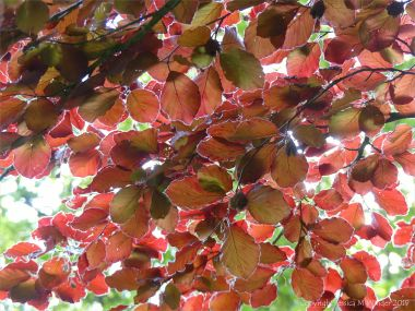 Beech Leaves 3