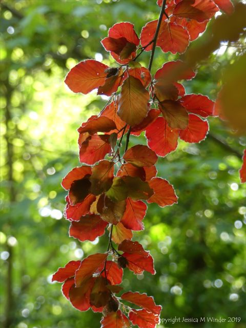 Beech Leaves 4