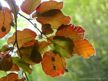Beech Leaves 5
