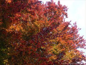 Beech Leaves 7