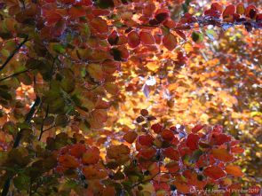 Beech Leaves 8
