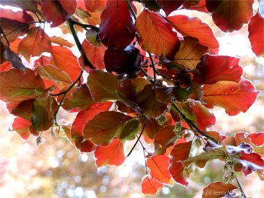 Beech Leaves 9