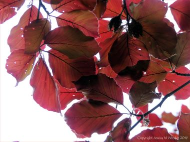 Beech Leaves 10