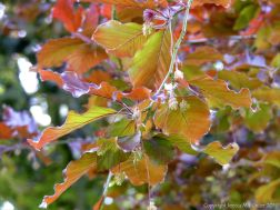 Beech Leaves 11