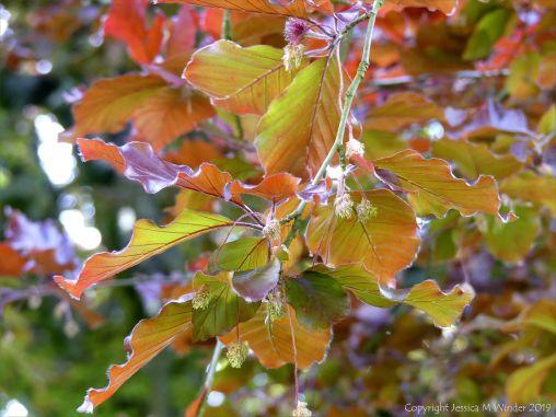 Beech Leaves 11