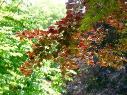 Purple beech leaves