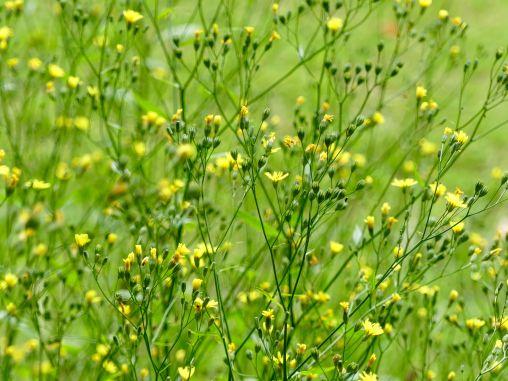 Yellow native flowers