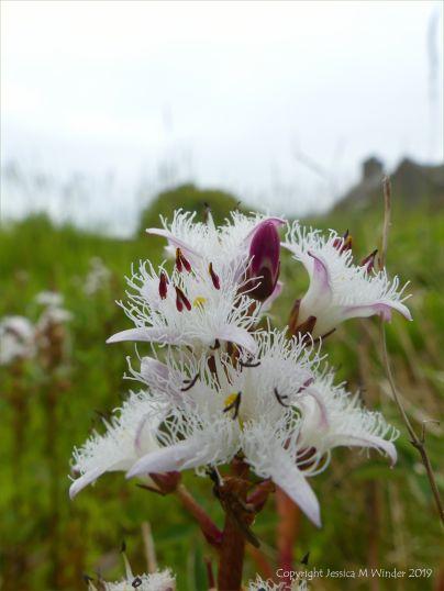 Bog Bean flower