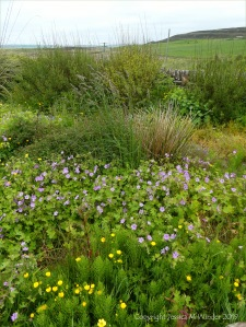 Orkney plants