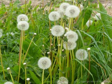 "Dandelion ""clocks"""