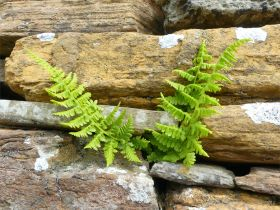 Ferns in a stone wall