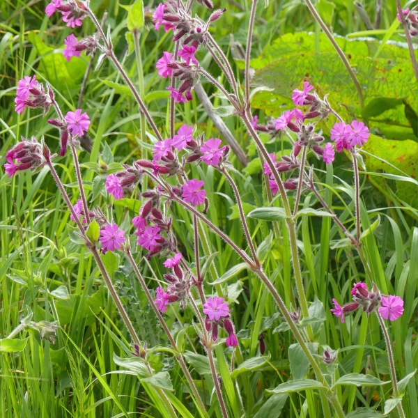 Red campion flowers