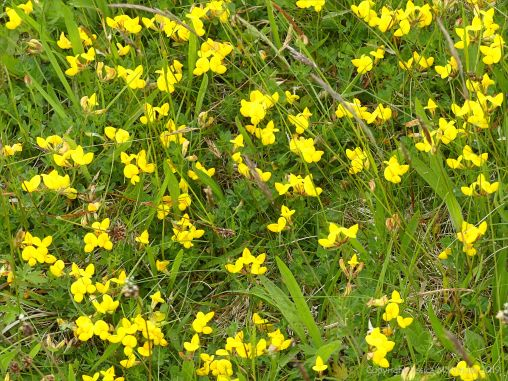 Birds Foot Trefoil?