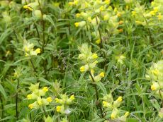 Yellow Rattle flowers