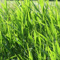 Riverside grasses