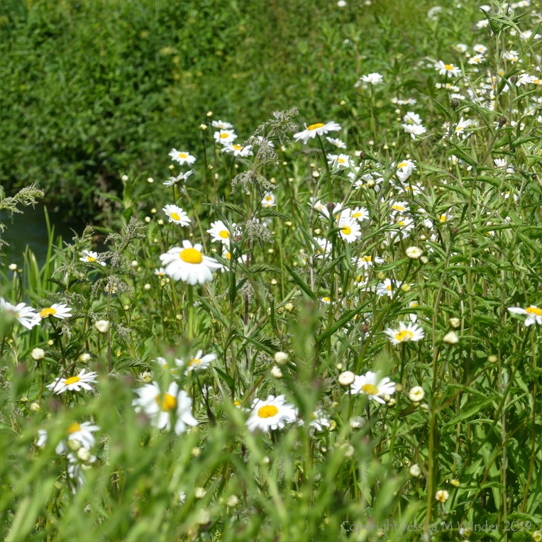 Ox-eye daisies on a river bank