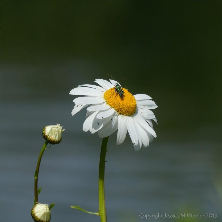 Ox-Eye Daisy with bug