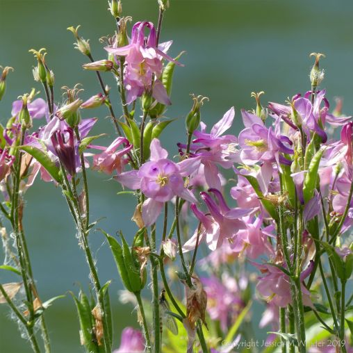 Pink flowers on the banks of the River Frome in Dorset