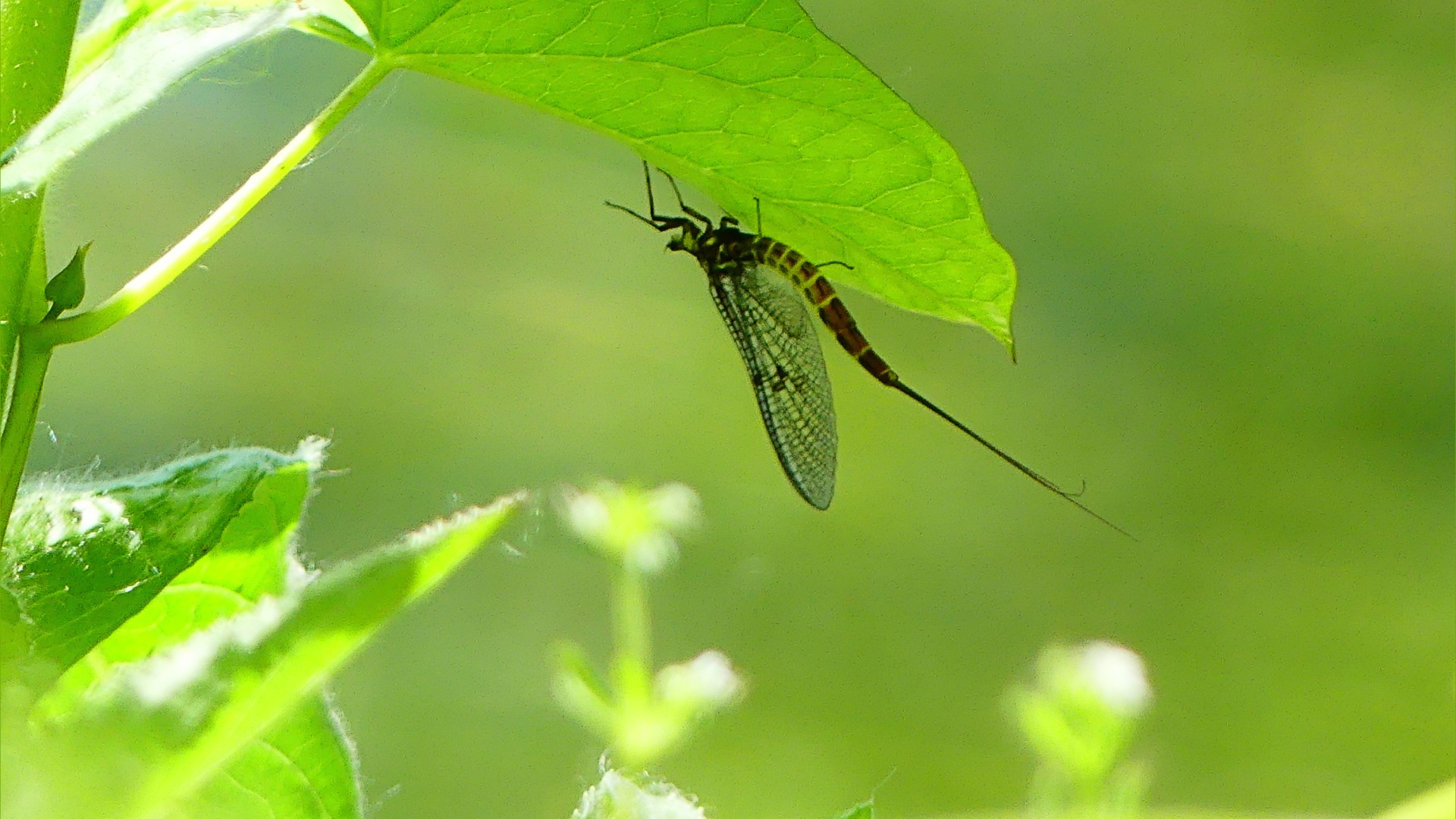 Mayfly on the underside of a leaf