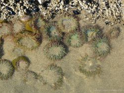 Surf or Aggregating Anemones on the Oregon Coast
