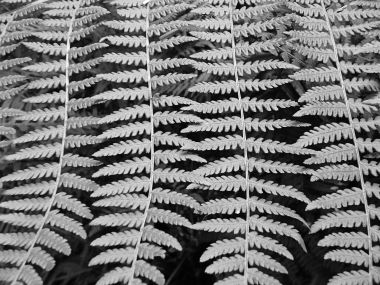 Black and white fern photograph