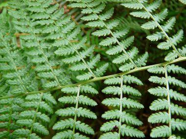 Photograph of green ferns