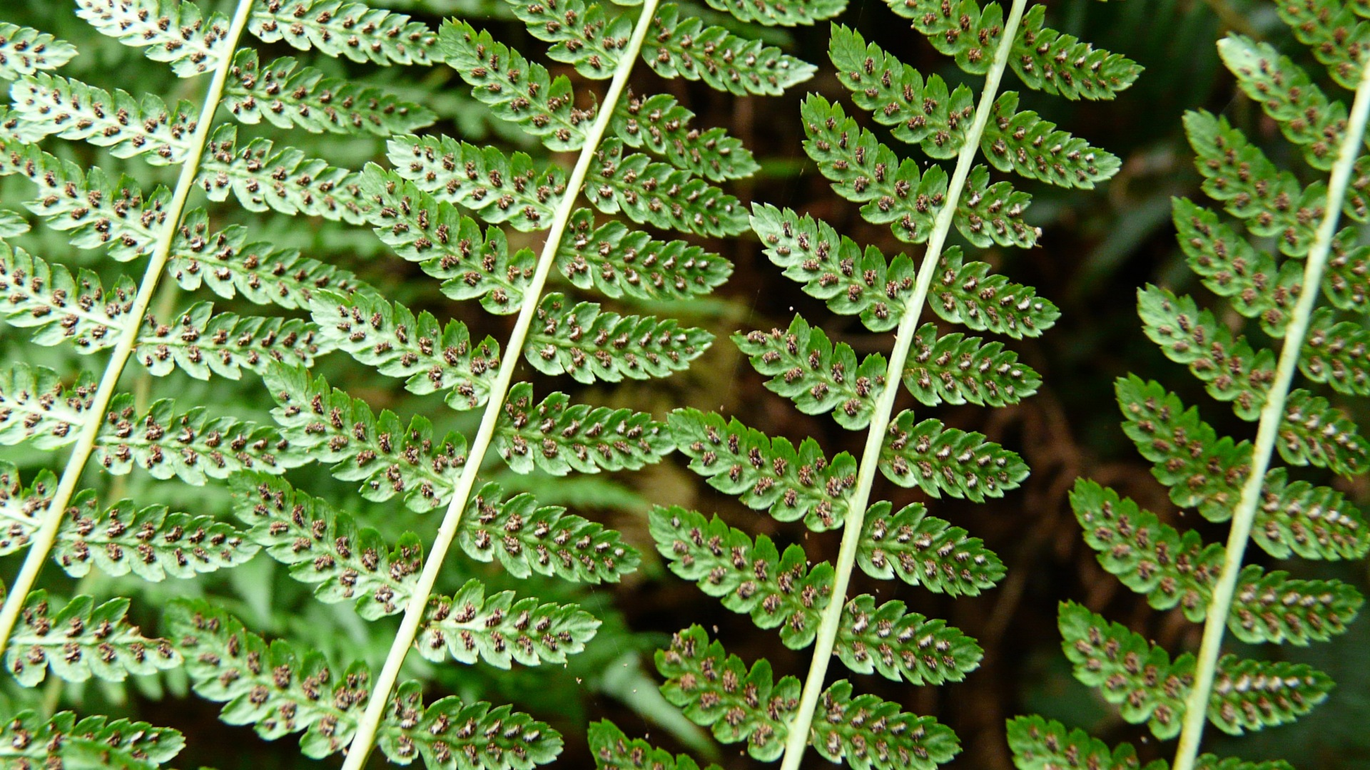 Photograph of green ferns