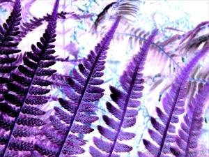 Purple ferns