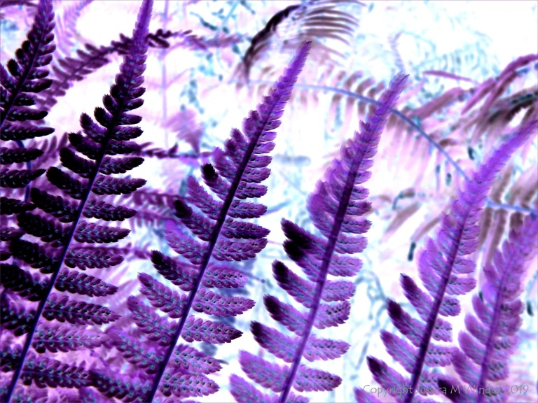 Purple ferns
