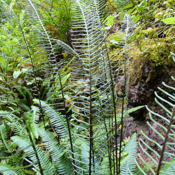 Ferns in the wild