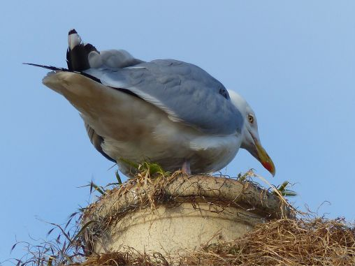 Gull nesting on a chimney pot