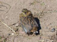 Baby bird on the footpath