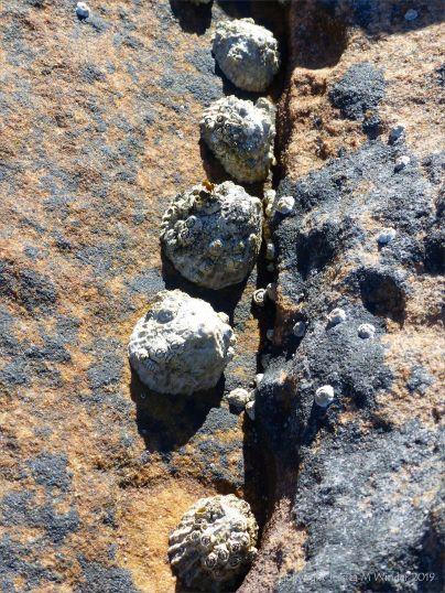 Limpets on Upper Old Red Devonian Sandstone at Portmahomack