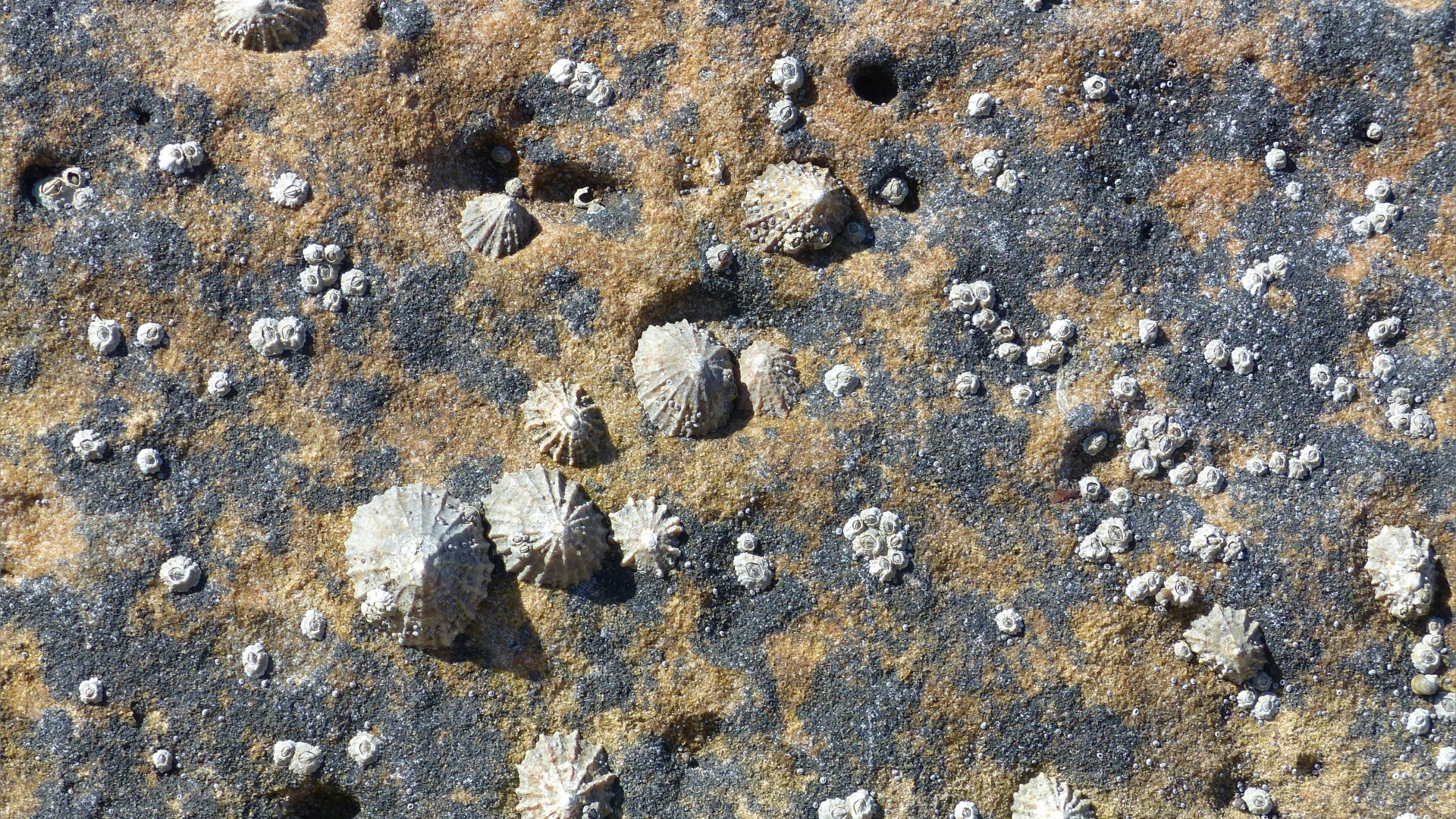 Limpets on sedimentary Upper Old Red Devonian Sandstone at Portmahomack