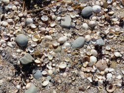 Limpet shells and pebbles at portmahomack beach