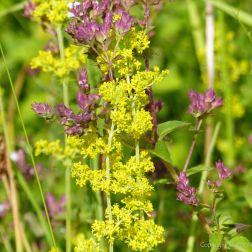 Common British wild flowers