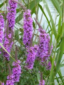 Wild purple waterside flowers