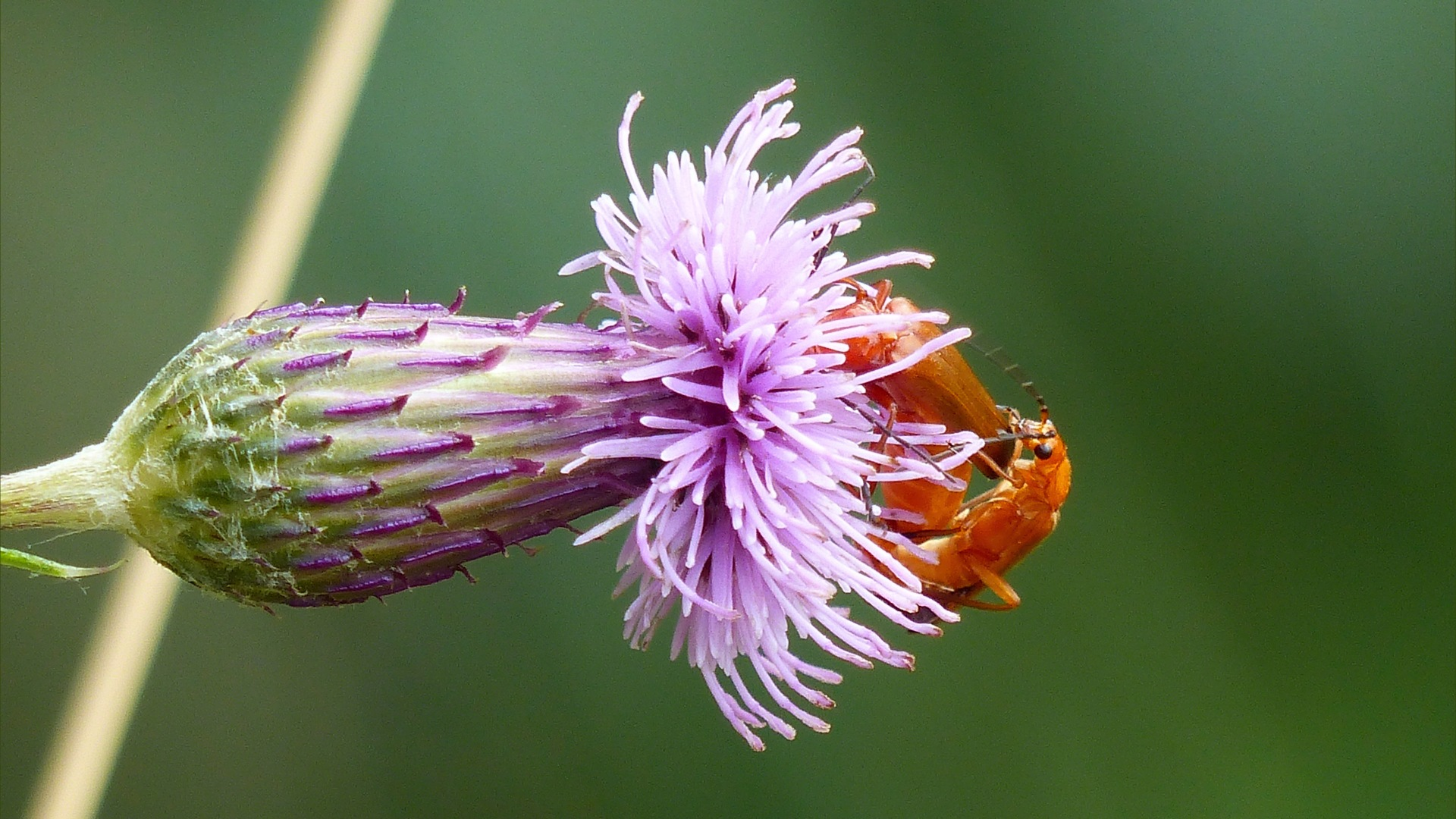Cardinal beetles on thistle
