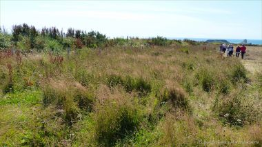 Plants sown by The National Trust for insects and birds on The Vile at Rhossil in Gower