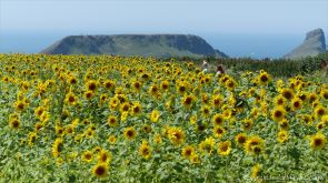 Sunflowers on The Vile at Rhossili on the Gower Peninsula