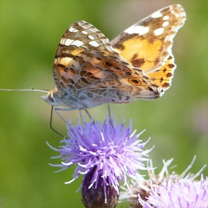 Painted Lady butterfly on Knapweed flowers