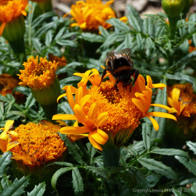 Bumble bee on marigold flower
