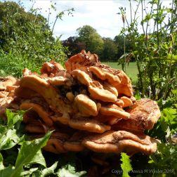 Giant Polypore fungus