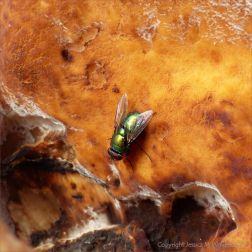 Giant Polypore fungus with green bottle fly