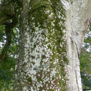 An old beech tree