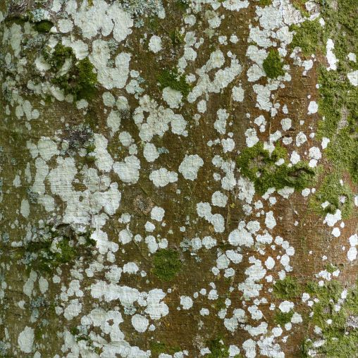An old beech tree