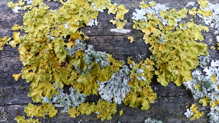 Close-up of lichens growing on wooden fencing
