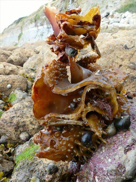 Kelp holdfast with periwinkles
