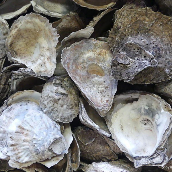 Oyster shells from archaeological excavations